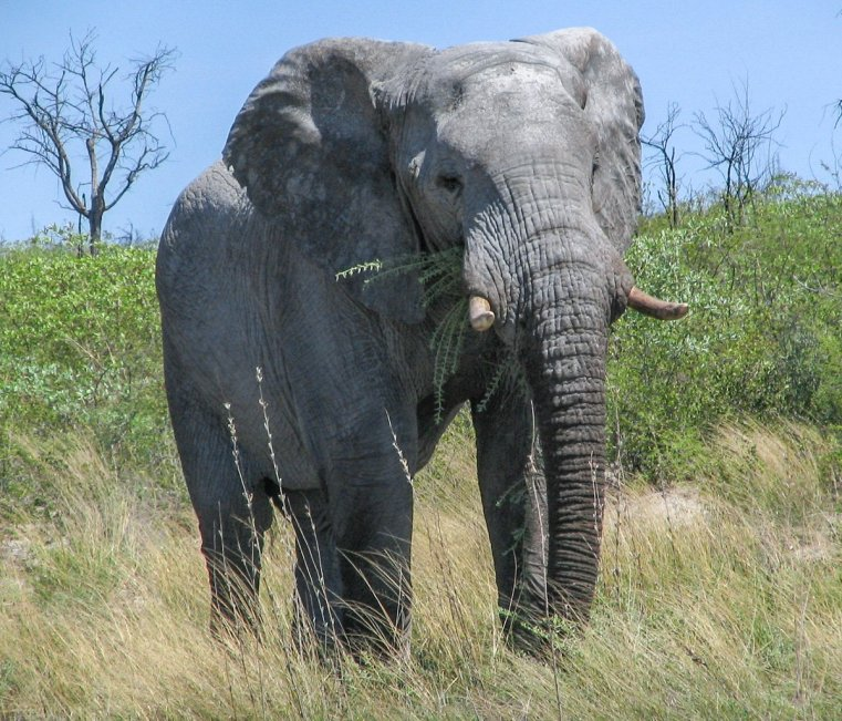 Hungry elephant in the Okavango Delta Botswana