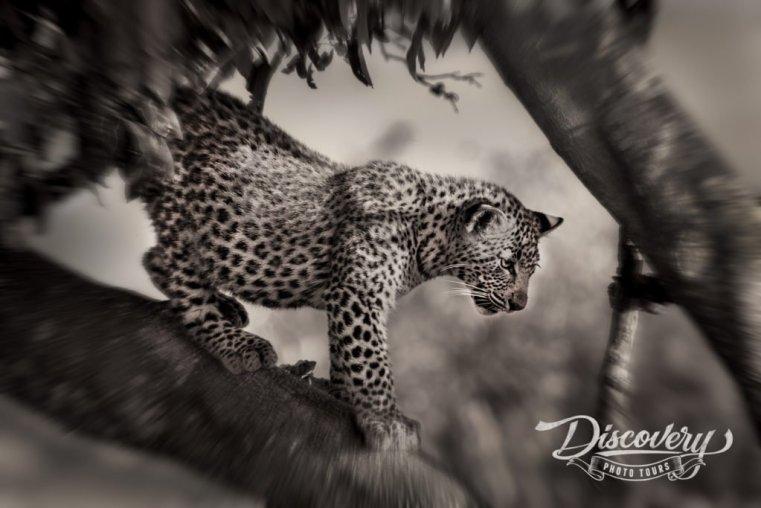 Leopard – Tanzania VIP Photo Safari