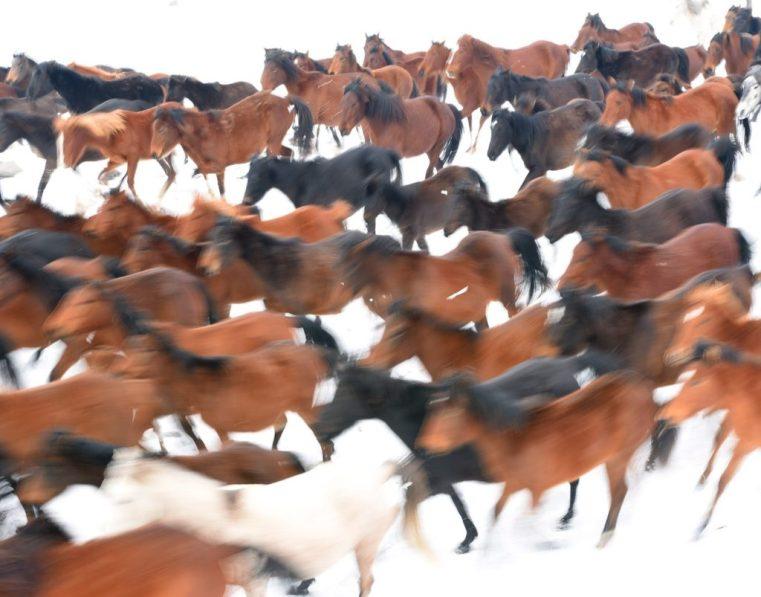 Herd of wild horses in the snow, Cappadocia