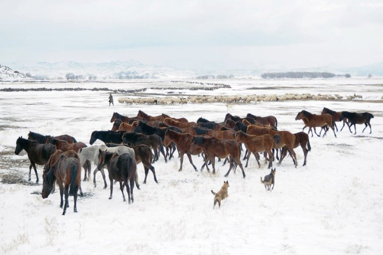Herd of wild horses in the snow, Cappadocia