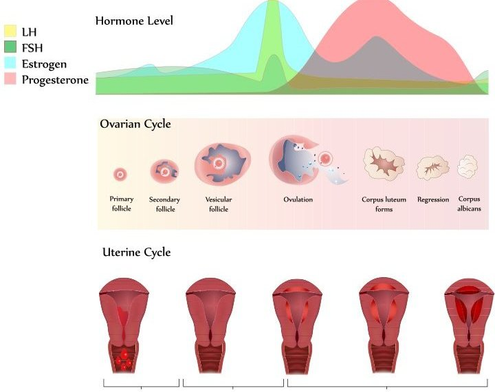 he length of the menstrual cycle varies from woman to woman, but the average is to have periods every 28 days. Regular cycles that are longer or shorter than this, from 21 to 40 days, are normal.
