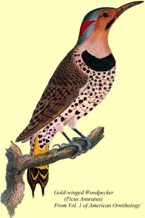 No 1935 Wilson Before Audubon