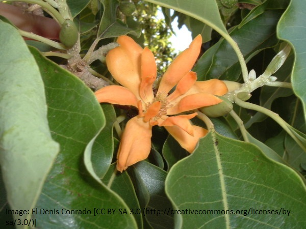 Magnolia Absolute