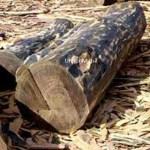 Guaiacwood essential oil
