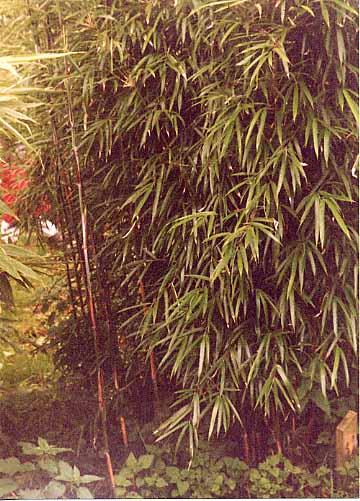 Yushania Maculata