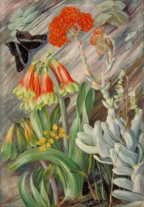 Red and green Cyrtanthus, Crassula, and Orchids par Marianne North
