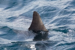 Possible Benidorm Shark Attack
