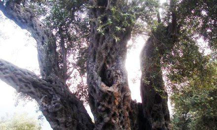 <!--:en-->Confirmed: Albanian tree is as old as it looks<!--:-->