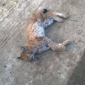A young Balkan lynx cub found dead (presumed shot by illegal hunters) in Munella, Albania.