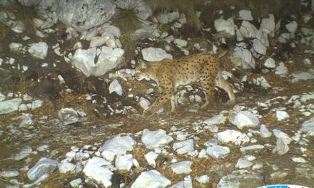 Sign a petition to save Albanian lynx, critically endangered species