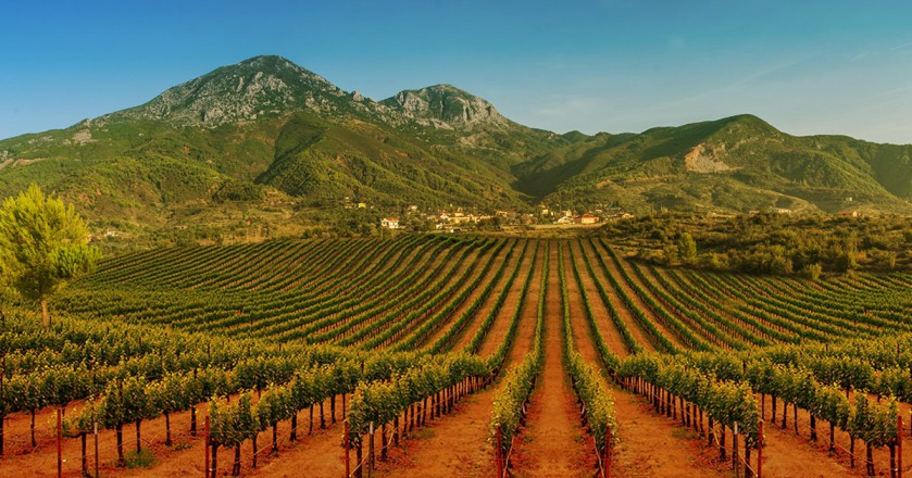 An Albanian vineyard