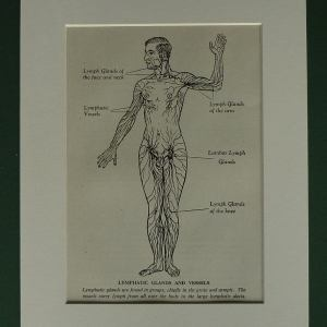 Original 1955 Medical Print - Lyphatic Glands & Vessels Human Blood System Matted Ready To Frame Doctors Chart Physical Body
