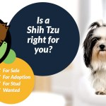 Shih Tzu Dogs And Puppies For Sale In The Uk