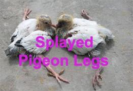 Youngbird splayed legs