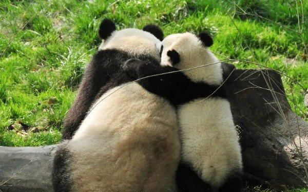 13 حقائق مثيرة للاهتمام حول الباندا العملاقة