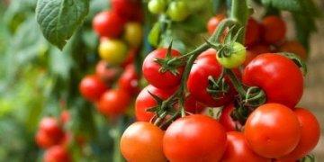 كيفية مساعدة شجيرات الطماطم على تحمل حرارة الصيف المرهقة في دفيئة وأرض مفتوحة