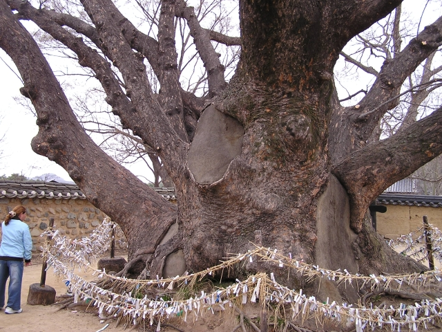 This magnificent Ginkgo tree in the center of the village is surrounded by wishes and prayers tied to the rope