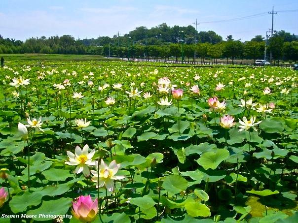 Lotus Ponds in Bloom