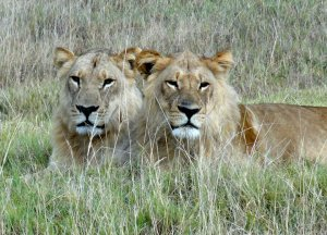 africa6 coppia leoni in savana