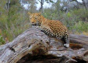 africa7 leopardo su tronco