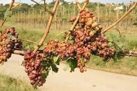 grandine uva