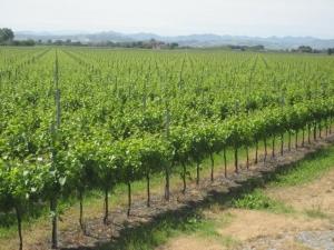 vigne in piemonte