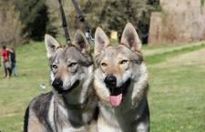 Il cane lupo diagnostica il cancro alla prostata