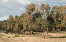 Doccia fredda per i prodotti della Puglia. La Francia vince la guerra del batterio con l'ok della Ue