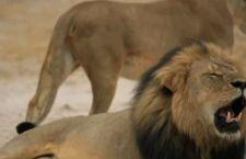 Dopo l'abbattimento del leone Cecil, le compagnie aeree Usa non imbarcano più trofei di caccia
