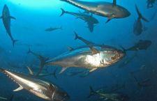 Le specie marine si stanno riducendo a vista d'occhio. Meno 50% a causa di pesca e cambiamenti climatici