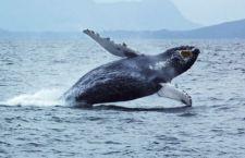 Canada: affonda barca per osservazione delle balene. 5 morti. Un disperso