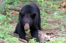 Florida: autorizzata la caccia all'orso nero. 4 mila licenze per abbattere 320 esemplari