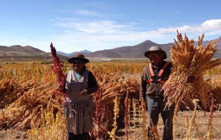 Quinoa - Raccolto in Bolivia