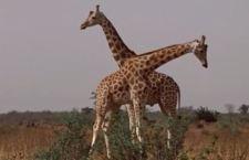 Giraffe a rischio di estinzione