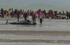 Nuova Zelanda: strage di balene arenate. 100 Salvate dai volontari