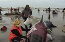 Nuova Zelanda: i volontari salvano 100 balene spiaggiate. Morte altre 300