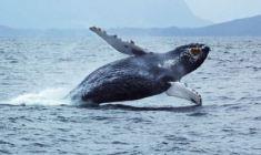 Allarme per micro plastica negli oceani. A rischio balene e squali