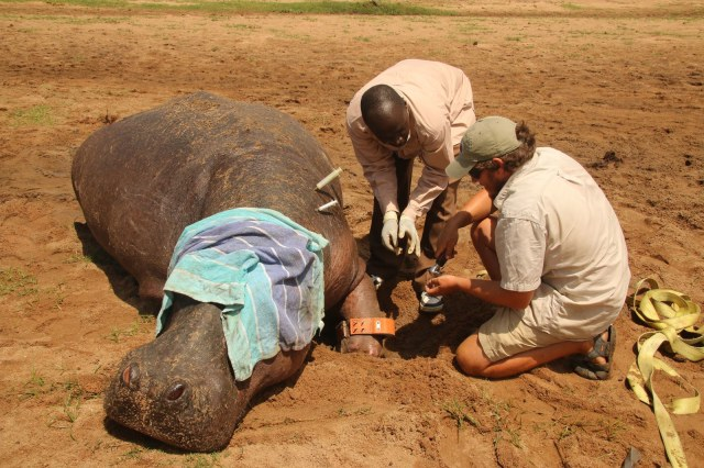 a tranquilized hippo laying in clayish dirt with a towel over its eye while two researchers crouch down to it