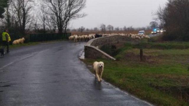 Les brebis sont escortées par des policiers pour traverser la route à hauteur de Vinassan (Aude), le 22 janvier. / © Simon Fabre