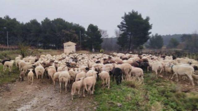 En prévision des débordements de l'Aude, des troupeaux ont été déplacés dans la région de Vendres, le 22 janvier dans l'après-midi. / © Simon Fabre