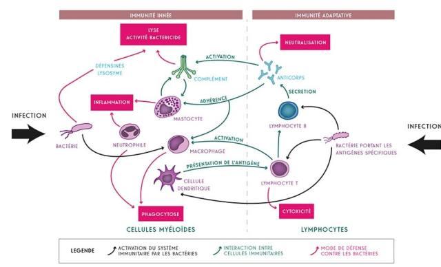 schema immunite