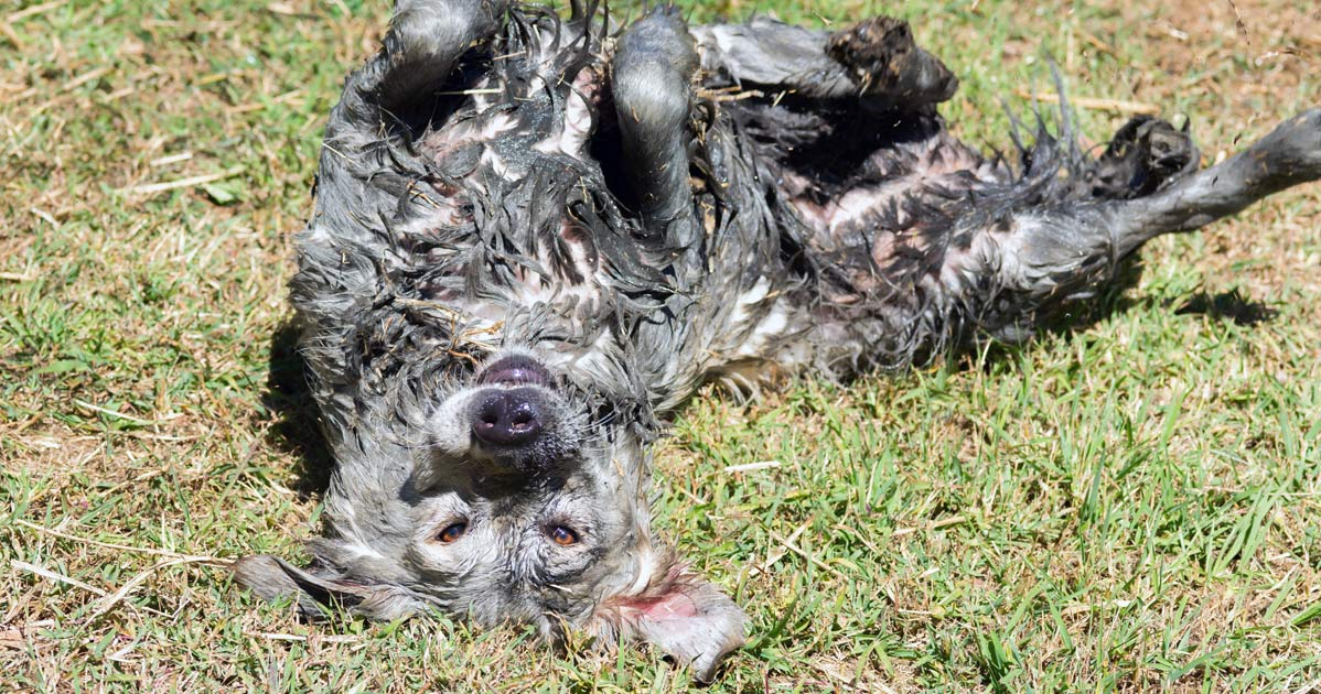 Dog laying upside-down in the mud,