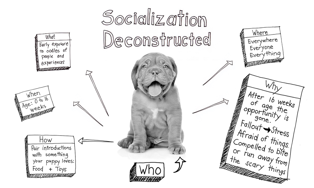 This is a black and white hand drawn sketch of a mind map about puppy socialization deconstructed. There is a puppy head (with the title your puppy) in the middle, surrounded by 5 think bubbles: When - age 0 to 16 weeks; What - Early exposure to oodles of people and experiences; Why - After 16 weeks of age the opportunity is gone. Fallout = Stress. Afraid of things. Compelled to bite or run away from the scary things; Where - Everywhere, Everyone, Everything; How - Pair introductions with something your puppy loves: Food + Toys