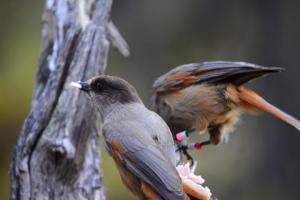 L'infanzia dei corvidi: ghiandaie