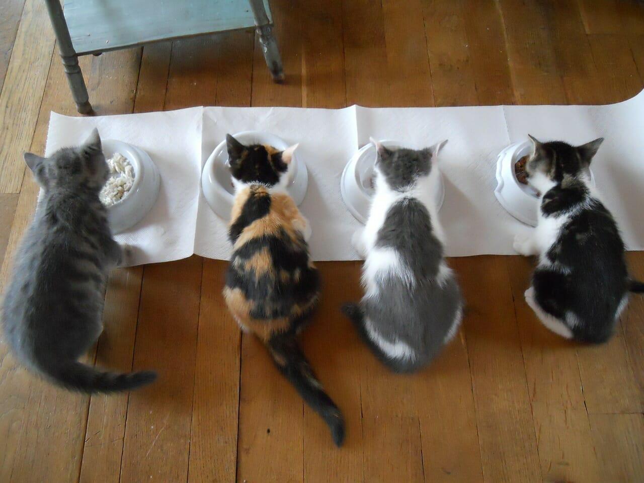 alimentazione dei gatti domestici