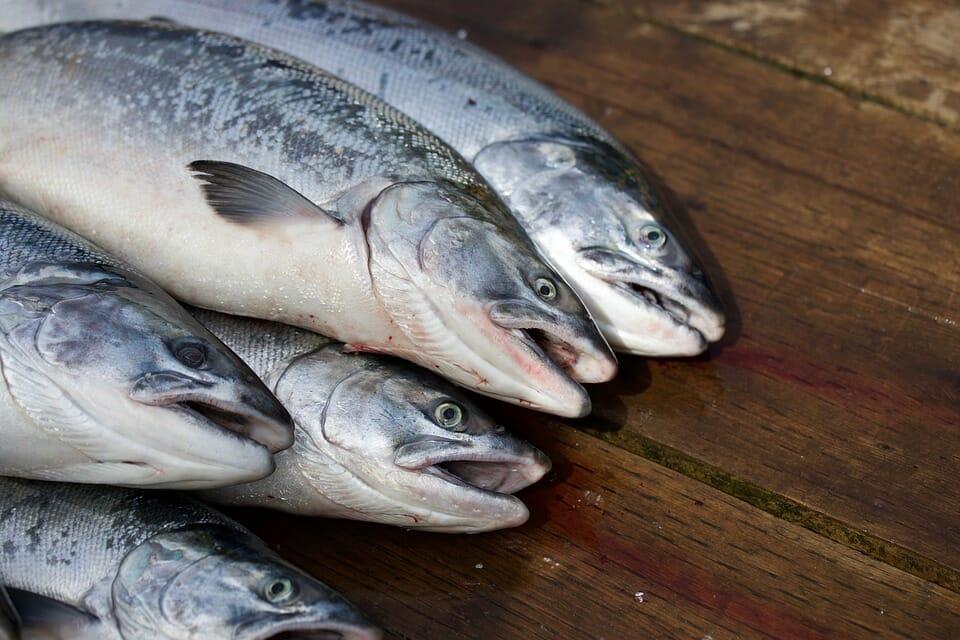 allevamenti di salmone