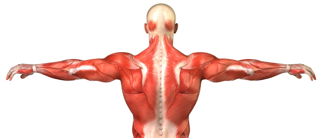 Male back muscular system anatomy