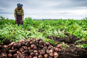 A woman harvesting potatoes