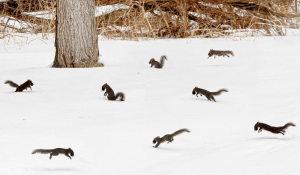Multiple squirrels jumping in the snow