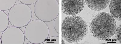 cellule di sertoli